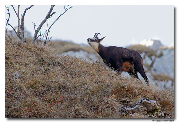 Photo Chamois_12 (Chamois - Rupicapra rupicapra )