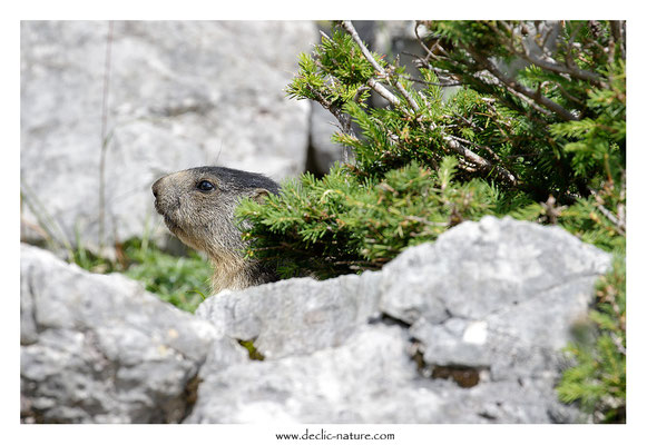 Photo Marmotte_67