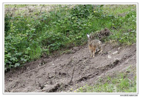 Lièvres - Lepus europaeus - Brown Hare (7)
