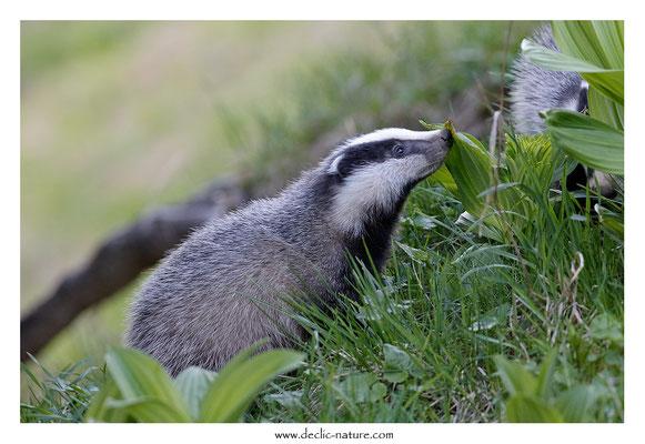 Photo_Blaireau_62 (Blaireaux - Meles meles - Eurasian Badger)