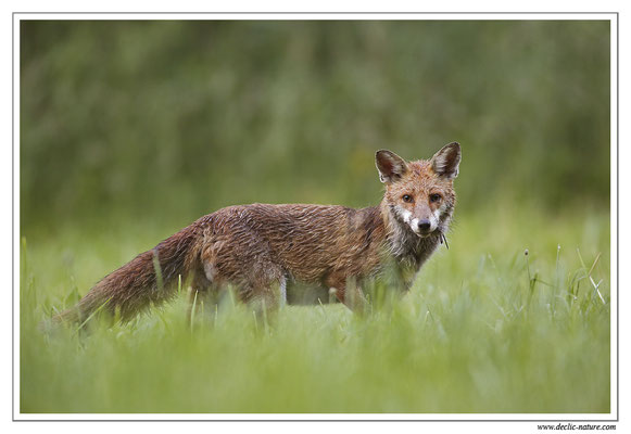 Photo Renard_53 (Renard roux -Vulpes vulpes - Red Fox)