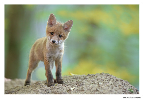 Photo Renard_91 (Renard roux -Vulpes vulpes - Red Fox)