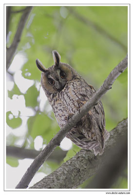 Photo 4 (Hibou moyen-duc - Asio otus - Long-eared Owl)