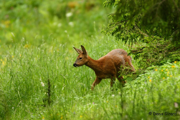 Photo Chevreuil_12 (Chevreuil - Capreolus capreolus - Roe Deer)