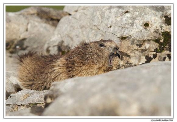 Photo Marmotte_28