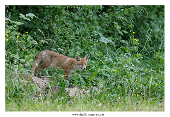 Photo Renard_175 (Renard roux -Vulpes vulpes - Red Fox)