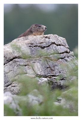 Photo Marmotte_40