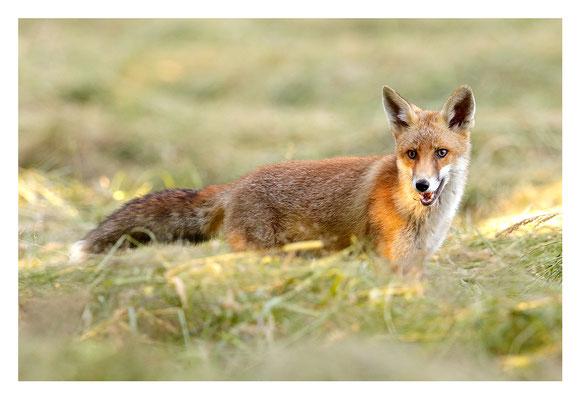 Photo Renard_196 (Renard roux -Vulpes vulpes - Red Fox)