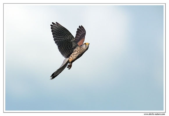 Photo 38 (Faucon crécerelle - Falco tinnunculus - Common Kestrel)