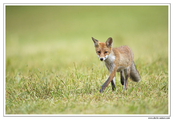 Photo Renard_79 (Renard roux -Vulpes vulpes - Red Fox)