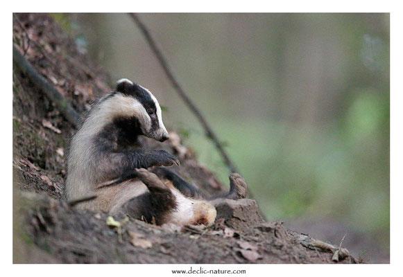 Photo_Blaireau_46 (Blaireaux - Meles meles - Eurasian Badger)