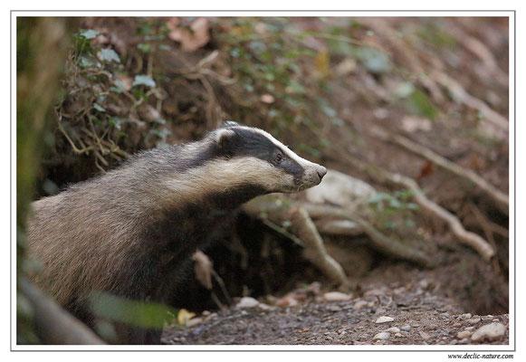 Photo_Blaireau_33 (Blaireaux - Meles meles - Eurasian Badger)