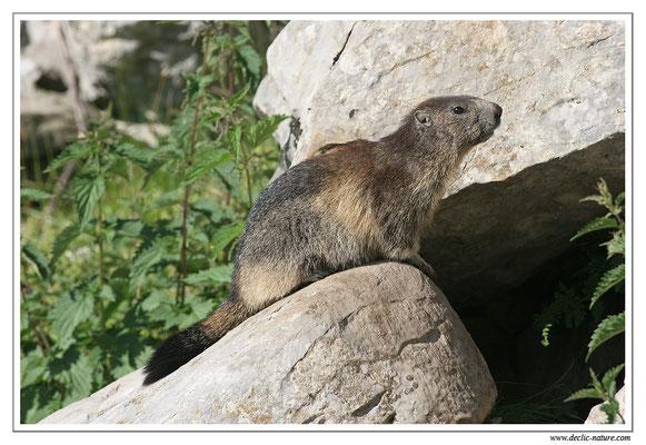 Photo Marmotte_M13