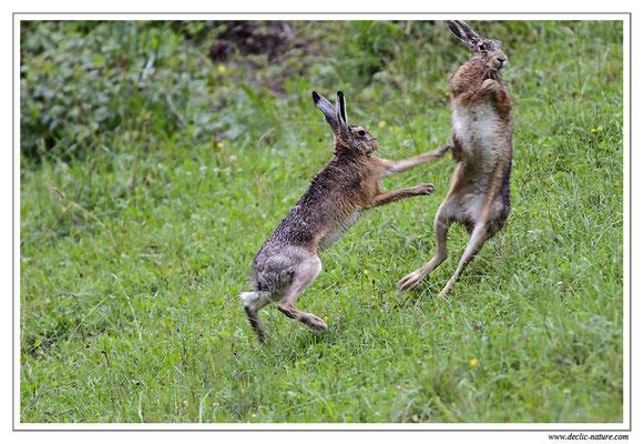 Lièvres - Lepus europaeus - Brown Hare (4)