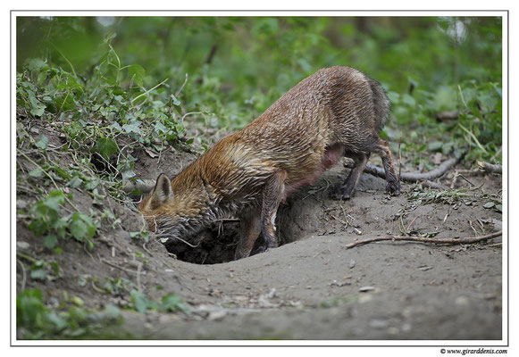 Photo Renard_21 (Renard roux -Vulpes vulpes - Red Fox)