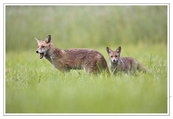 Photo Renard_54 (Renard roux -Vulpes vulpes - Red Fox)