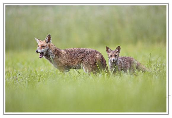Photo Renard_54 (Renard roux -Vulpes vulpes - Red Fox)