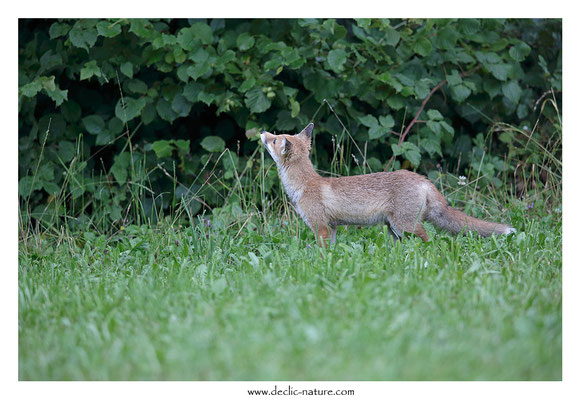Photo Renard_146 (Renard roux -Vulpes vulpes - Red Fox)
