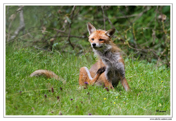 Photo Renard_35 (Renard roux -Vulpes vulpes - Red Fox)