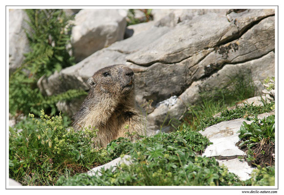 Photo Marmotte_M6