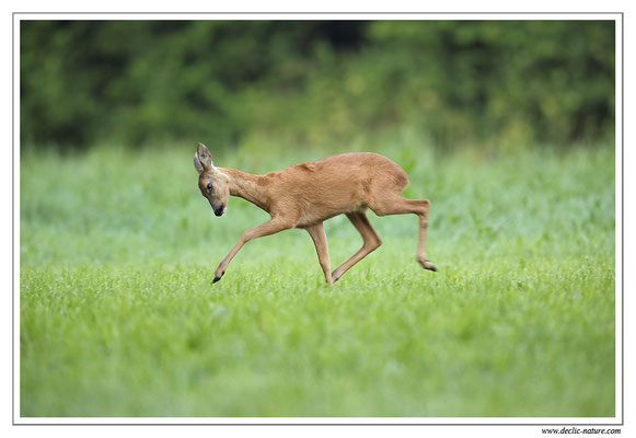 Photo Chevreuil_71 (Chevreuil - Capreolus capreolus - Roe Deer)