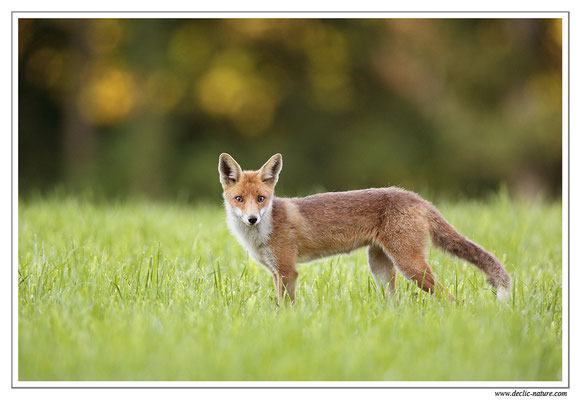 Photo Renard_62 (Renard roux -Vulpes vulpes - Red Fox)