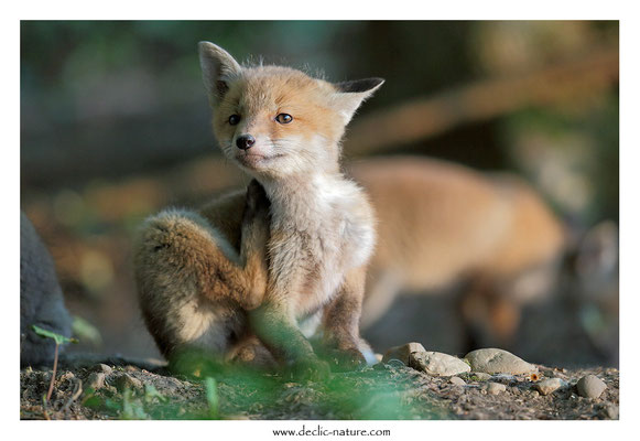Photo Renard_112 (Renard roux -Vulpes vulpes - Red Fox)