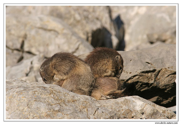 Photo Marmotte_M23
