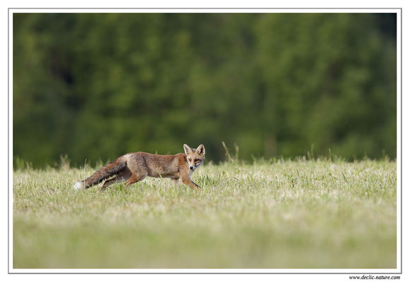 Photo Renard_75 (Renard roux -Vulpes vulpes - Red Fox)