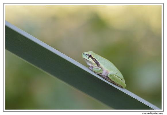 Rainette méridionale - Hyla meridionalis (Sud de la France)