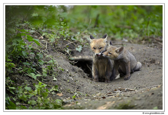 Photo Renard_29 (Renard roux -Vulpes vulpes - Red Fox)