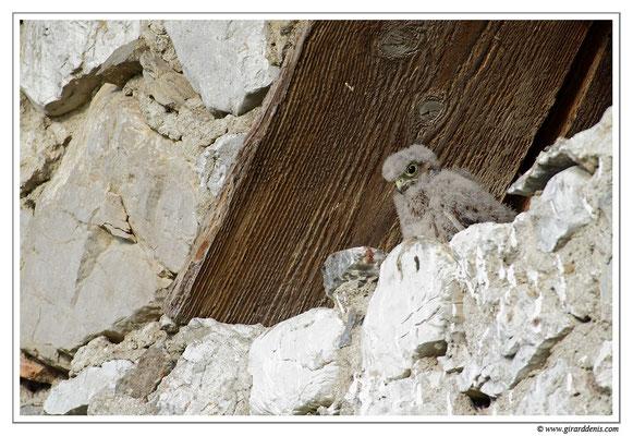 Photo 18 (Faucon crécerelle - Falco tinnunculus - Common Kestrel)