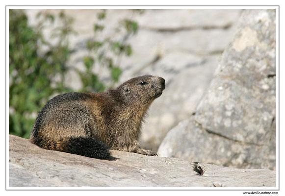 Photo Marmotte_M14