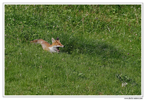 Photo Renard_38 (Renard roux -Vulpes vulpes - Red Fox)