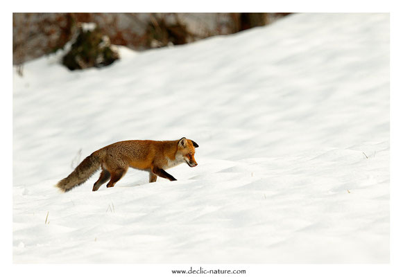 Photo Renard_167 (Renard roux -Vulpes vulpes - Red Fox)