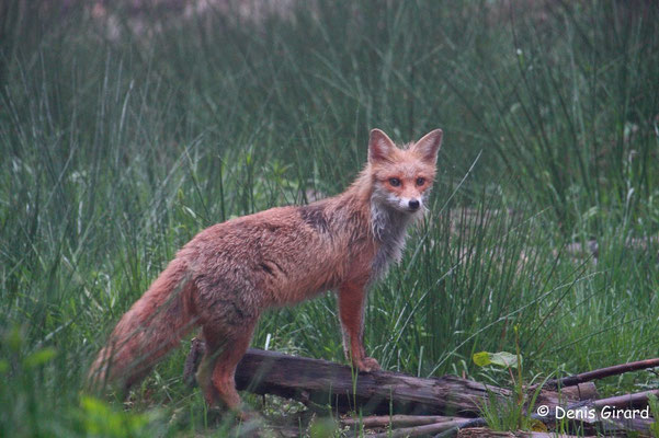 Photo Renard_3 (Renard roux -Vulpes vulpes - Red Fox)