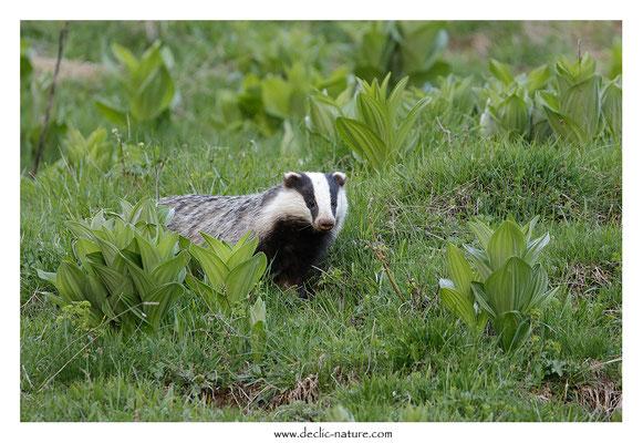 Photo_Blaireau_58 (Blaireaux - Meles meles - Eurasian Badger)