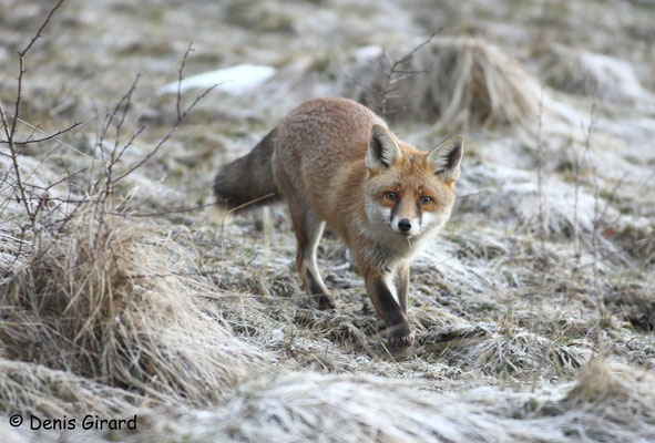 Photo Renard_7 (Renard roux -Vulpes vulpes - Red Fox)