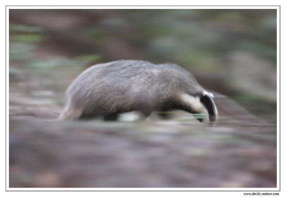 Photo_Blaireau_39 (Blaireaux - Meles meles - Eurasian Badger)