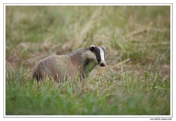 Photo_Blaireau_36 (Blaireaux - Meles meles - Eurasian Badger)
