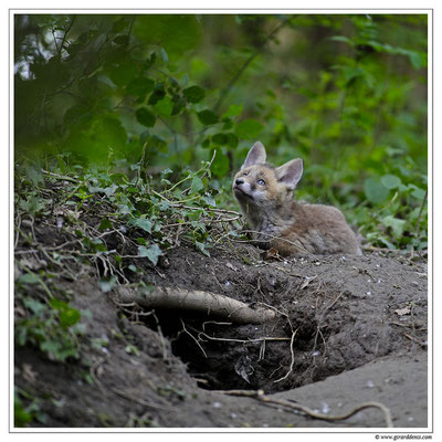 Photo Renard_24 (Renard roux -Vulpes vulpes - Red Fox)