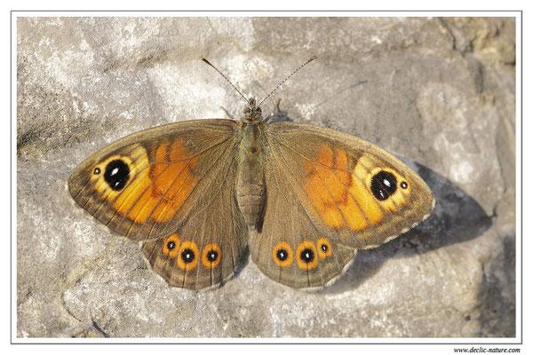 Némusien - Lasiommata marea (6)