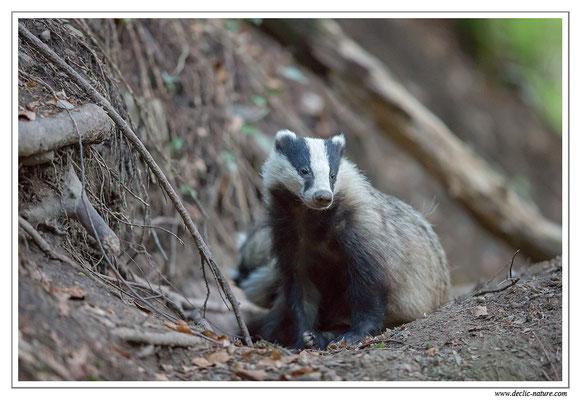 Photo_Blaireau_13 (Blaireaux - Meles meles - Eurasian Badger)