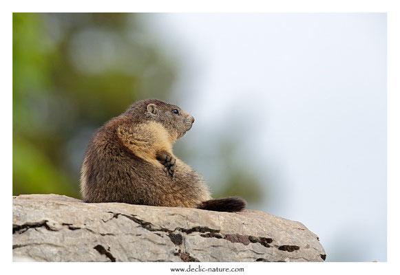 Photo Marmotte_43