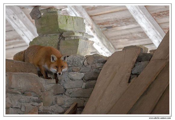 Photo Renard_80 (Renard roux -Vulpes vulpes - Red Fox)