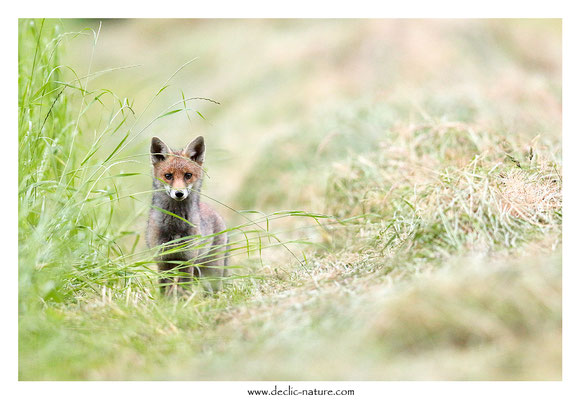 Photo Renard_199 (Renard roux -Vulpes vulpes - Red Fox)