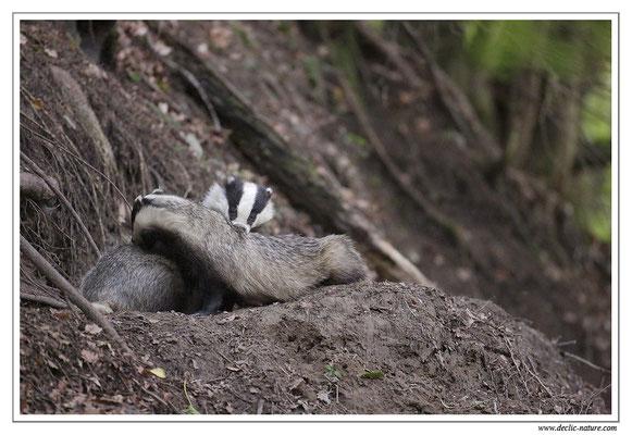 Photo_Blaireau_6 (Blaireaux - Meles meles - Eurasian Badger)