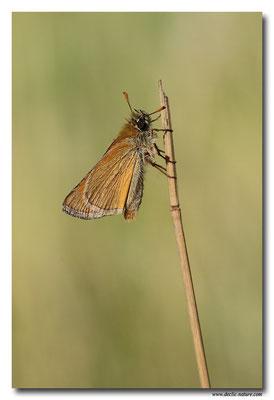 Bande noire - Thymelicus sylvestris (8)