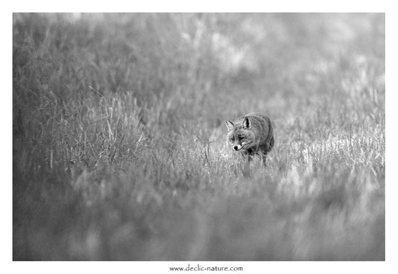 Photo Renard_188 (Renard roux -Vulpes vulpes - Red Fox)