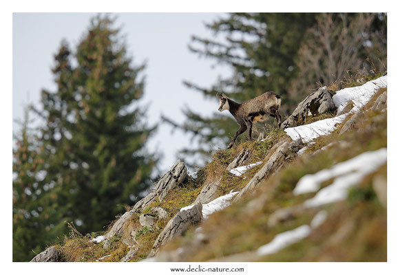 Photo Chamois_26 (Chamois - Rupicapra rupicapra )